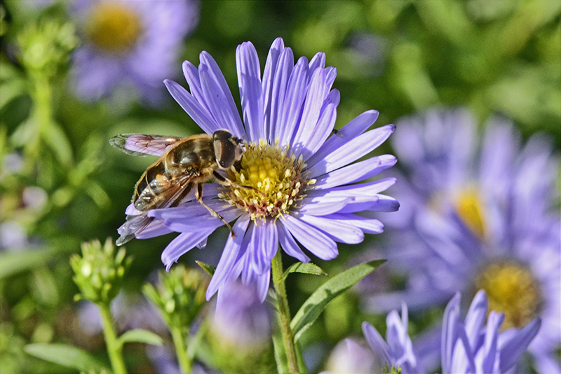 insect on Michaelmas daisy