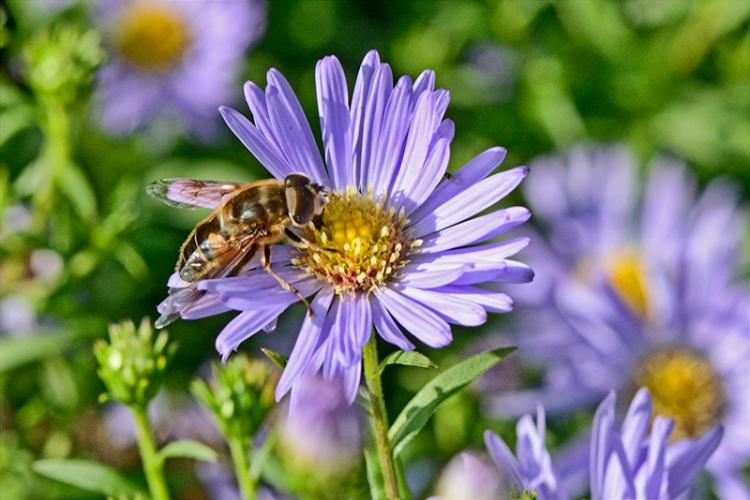 insect on Michaelmas daisy