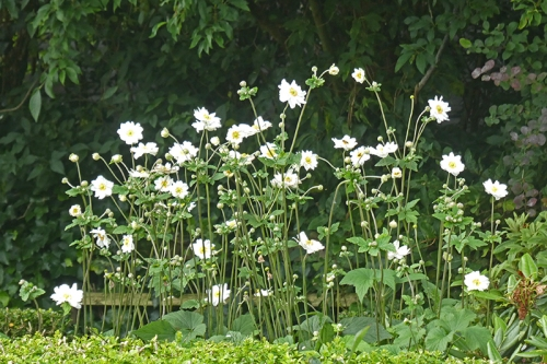 Japanese anemone clump