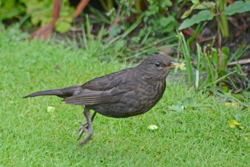 jumping blackbird