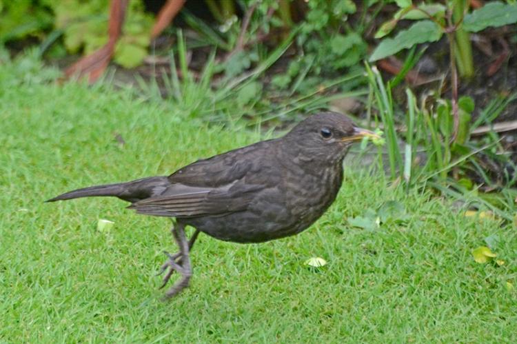 jumping blackbird