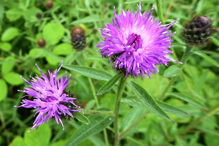 knapweed by old A74