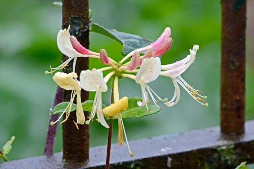 late honeysuckle