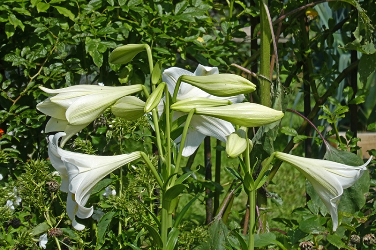 lilies after the rain