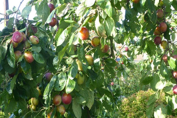 many plums