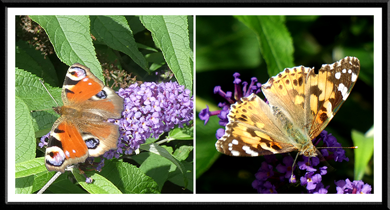 more butterflies