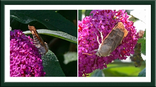 moth on buddleia