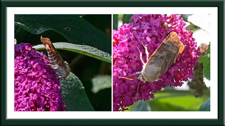 moth on buddleia