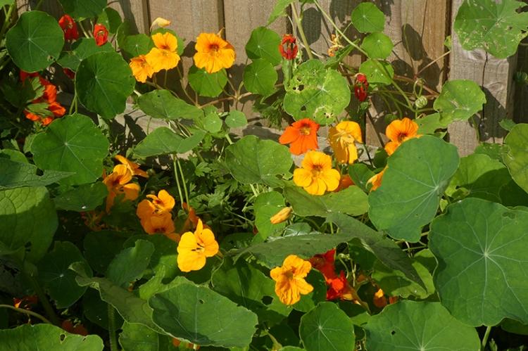 nasturtiums on back fence