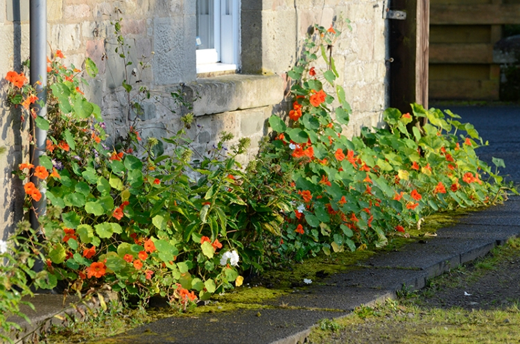 nasturtiums on front wall