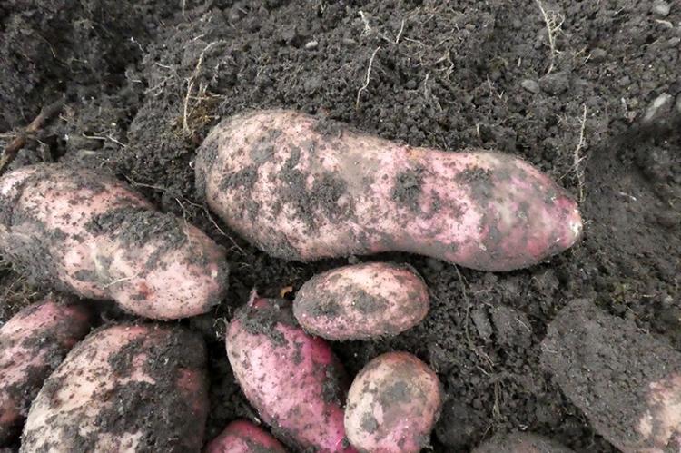 nine inch potato