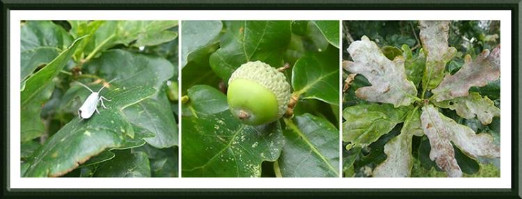 oak tree panel