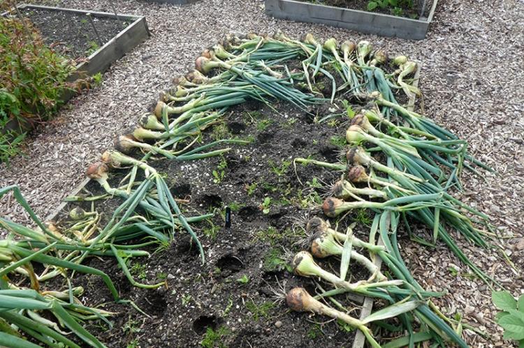 onions 2019