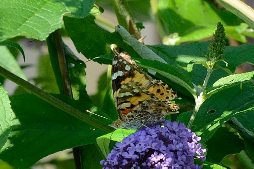 painted lady wings shut