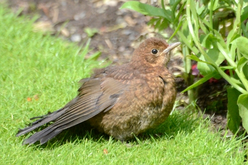 panting blackbird on lawn 1