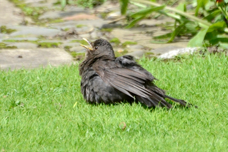 panting blackbird on lawn 2