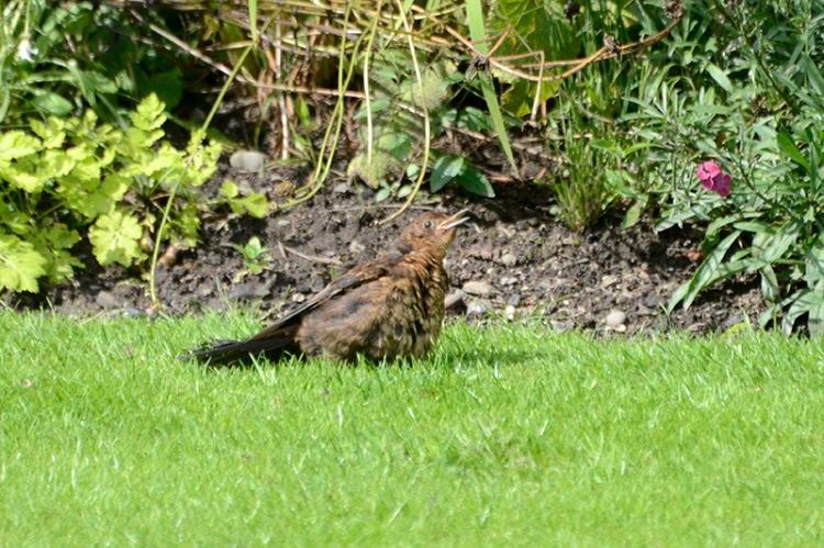 panting blackbird on lawn 3
