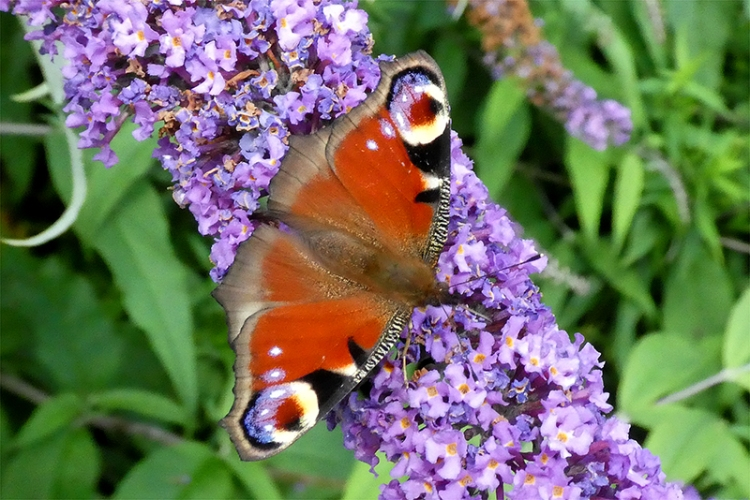 peacock butterfky
