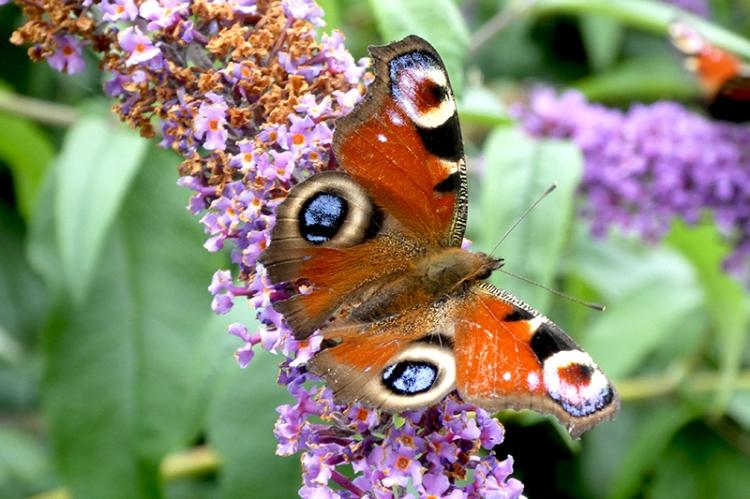 peacock butterfly wings spread