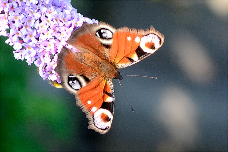 peacock butterlfy on buddleia tip