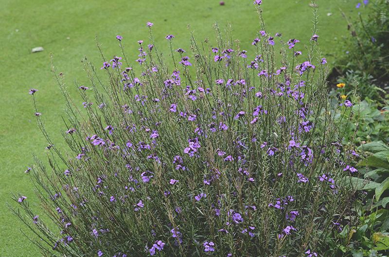 perennial wallflower august