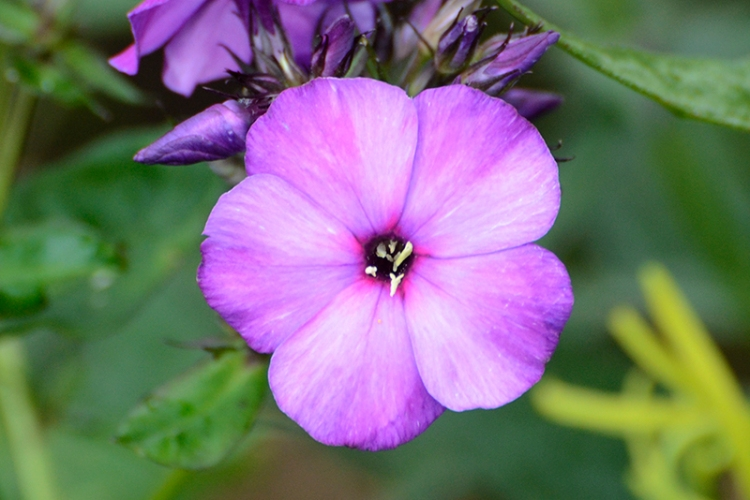 phlox blossom