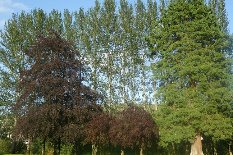 Poplars in Buccleuch Park