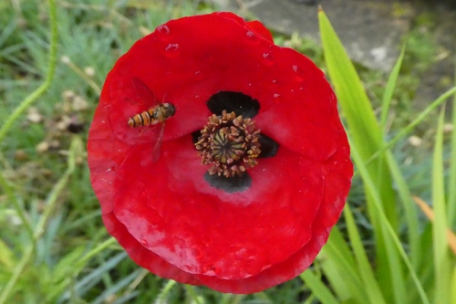 poppy with hoverfly