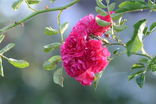 rambler rose evening