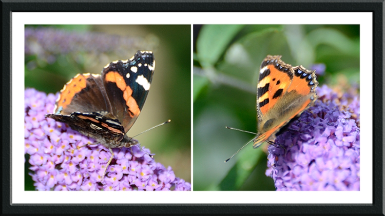 red admiral and small tortoisehell butterflies