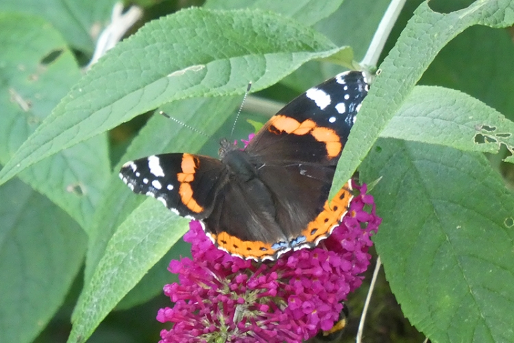 red admiral butterfly august
