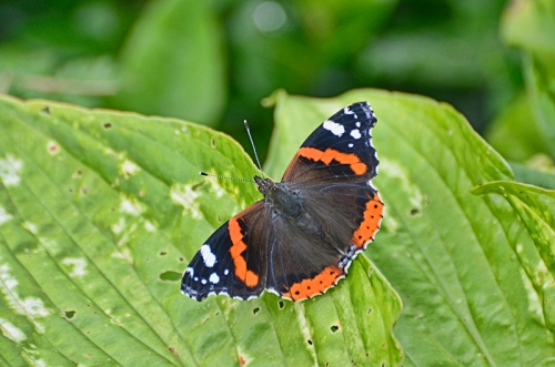 red admiral butterf;y