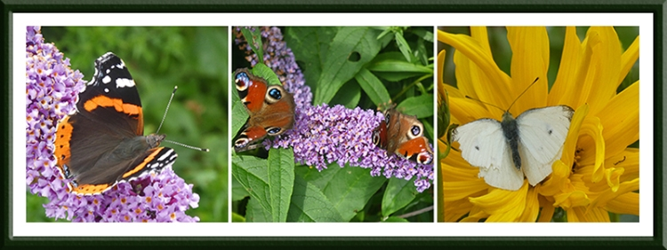 red admiral, two peacocks, white butterfly