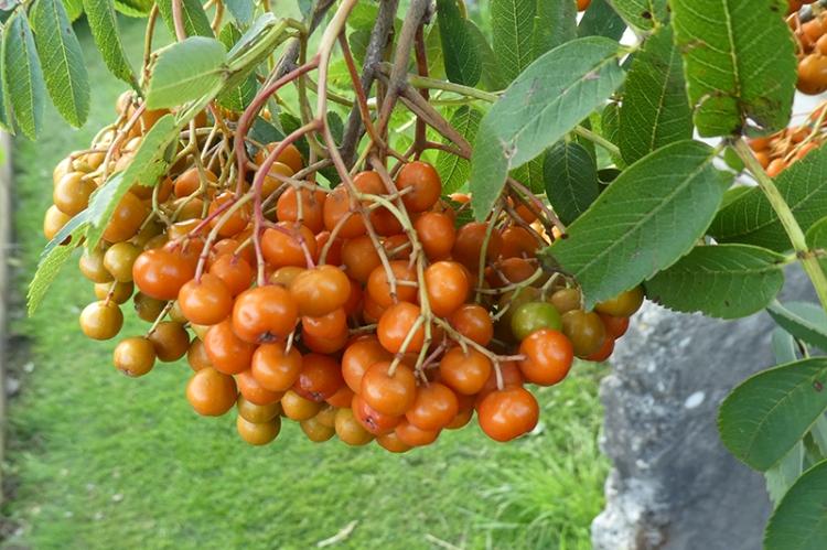 rown berries ripening