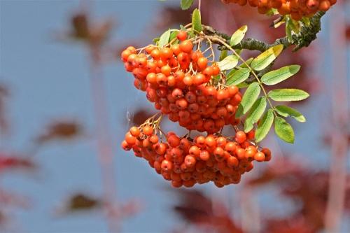 rown berries