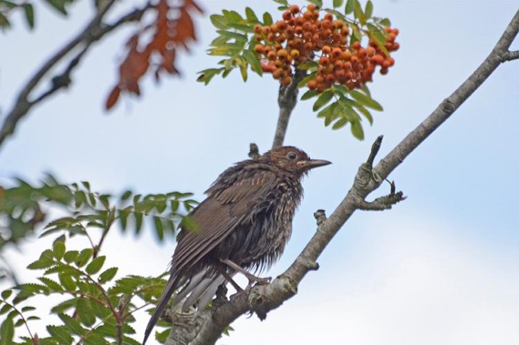 ruffled blackbird