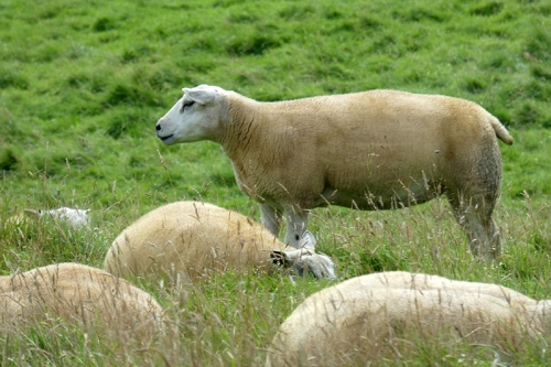 sanding sheep