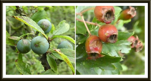 sloe and haw