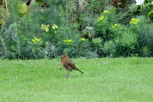 sparrow at end of lawn