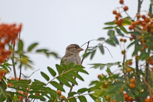 sparrow in rowan