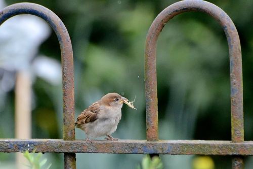 sparrow on fence