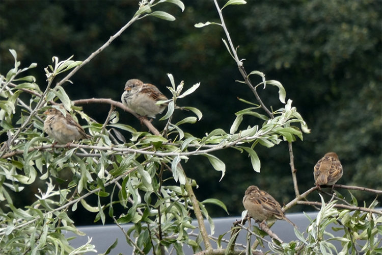 sparrows in silver pear