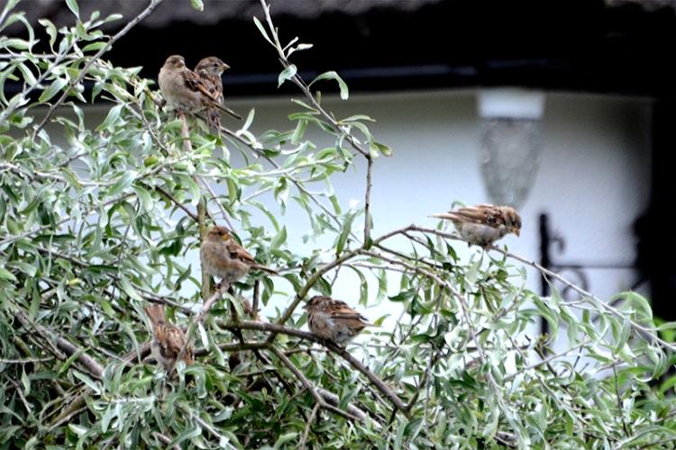 sparrows in silver pear