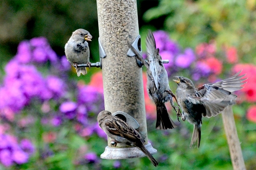 squabbling sparrows