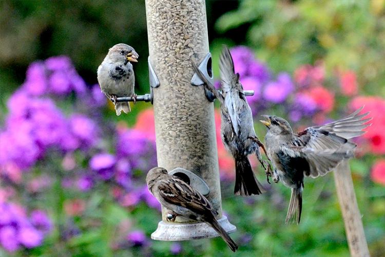 squabbling sparrows