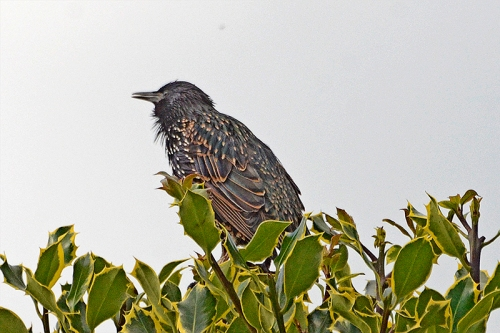 starling on holly