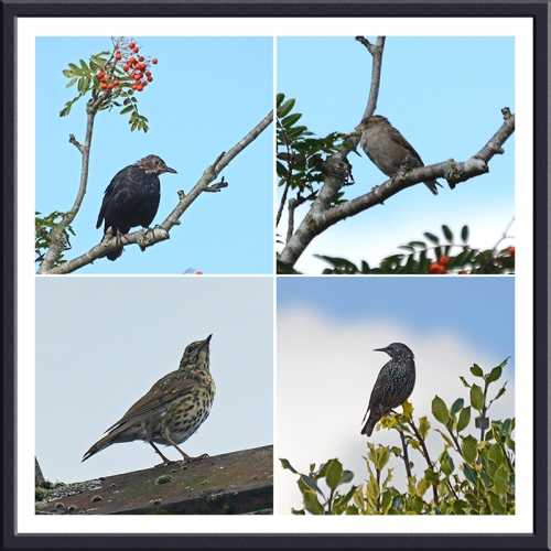 starling, thrush and sparrow
