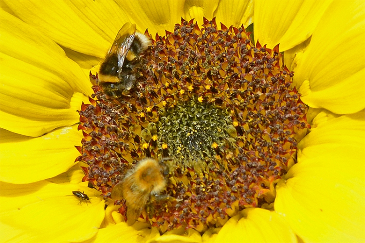 sunflower witht wo bees