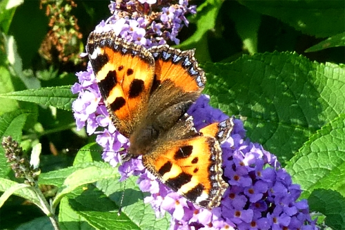 tattered small tortoiseshell