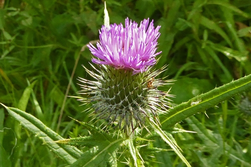 thistle on A7 bike path